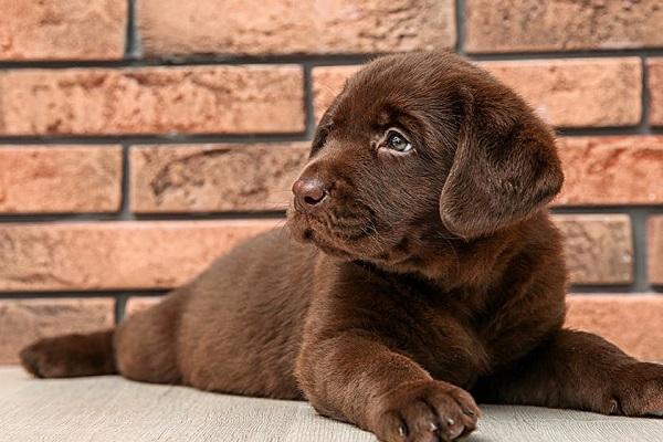 cucciolo di labrador marrone