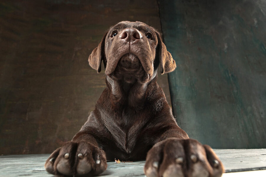 cane labrador marrone