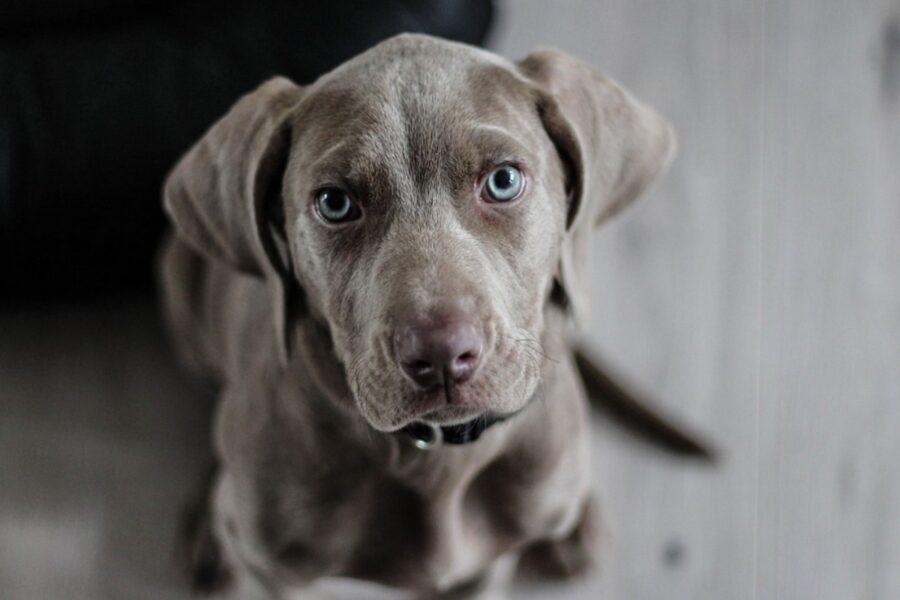 cucciolo di cane da caccia in attesa