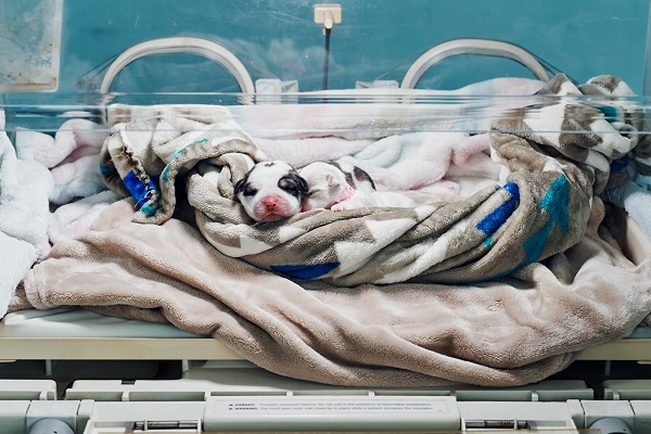 cucciolo di cane in incubatrice