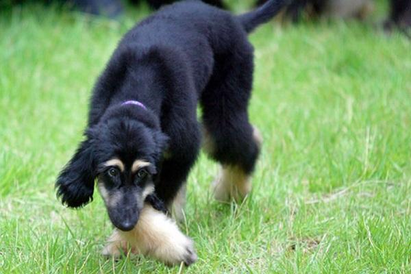 snuppy, cane clonato