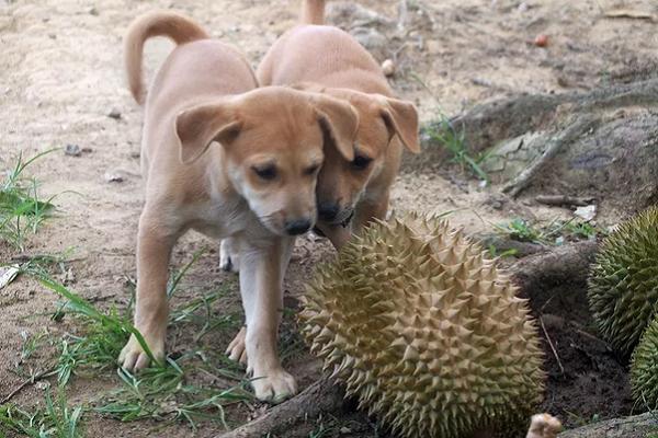 cani annusano frutti di durio