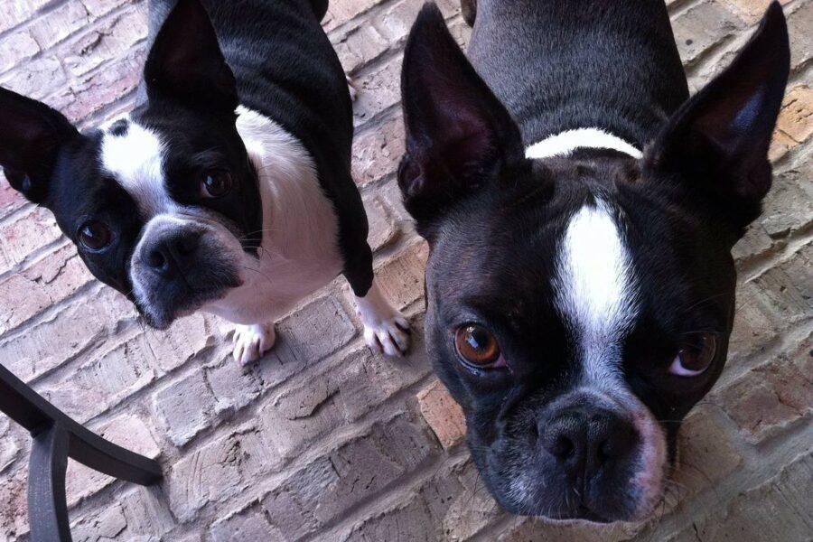 cani di razza boston terrier