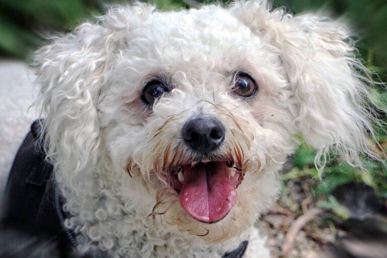 cane bianco con il pelo riccio