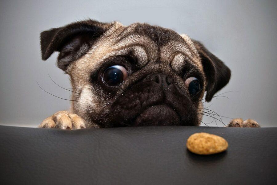 cane fissa uno spuntino