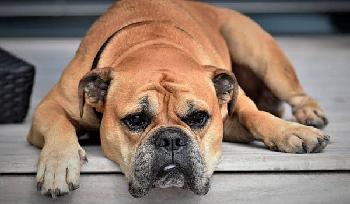 I cani possono mangiare la 'nduja?