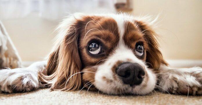 cane con lo sguardo colpevole