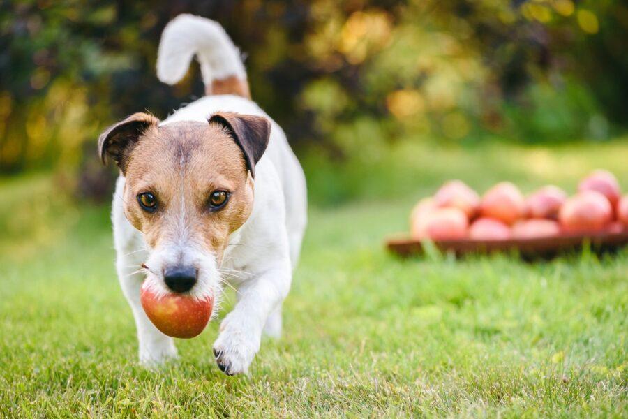 cane con una mela in bocca