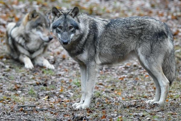 lupi a confronto con i cani