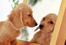 cane che si guarda allo specchio