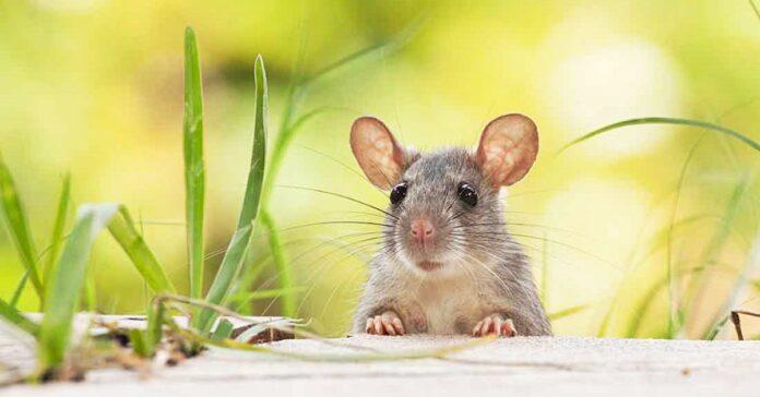 un topo di campagna