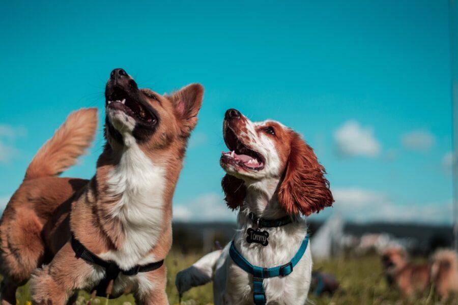 cani guardano in alto