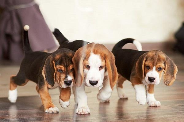 cani beagle piccoli