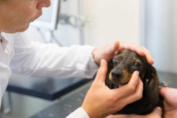 cane bassotto dal veterinario