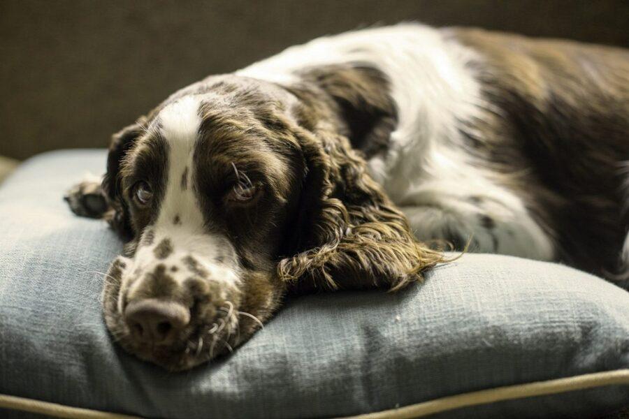 cane sdraiato su cuscino