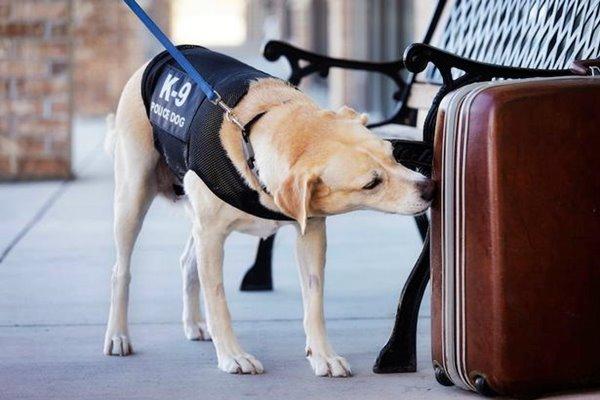 cane annusa una valigia