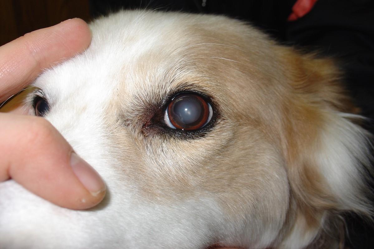 cane con gli occhi opachi