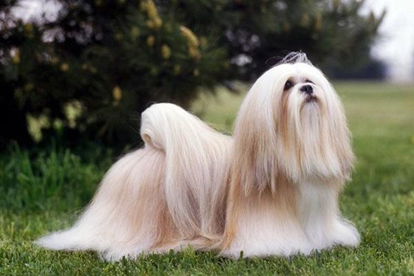 cane a pelo molto lungo