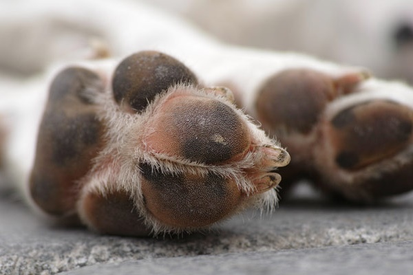 cuscinetti delle zampe del cane