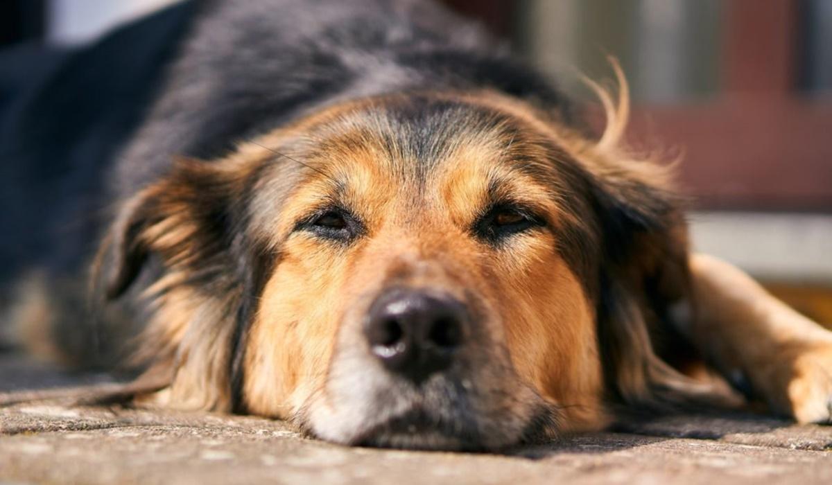 Disfunzioni piastriniche nel cane: tutto quello che bisogna sapere