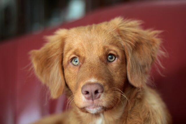 cane marrone con gli occhi chiari
