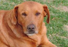 cane con il mantello rossiccio