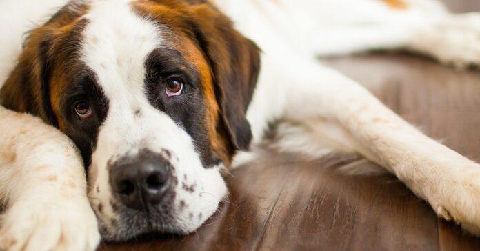 cane di razza gigante