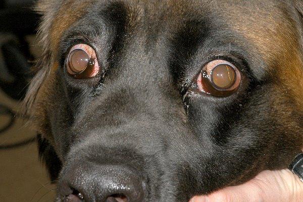cane con infezione agli occhi