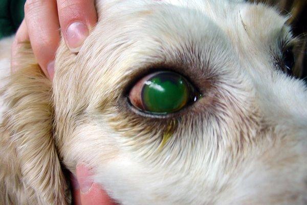 cane con l'occhio sporgente