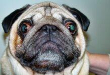 esoftalmo nel cane