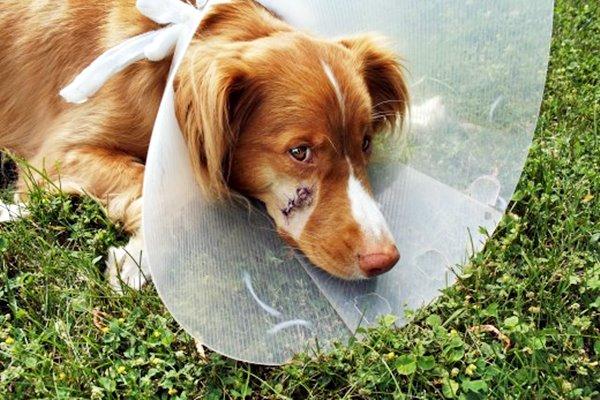 cane con il collare elisabettiano