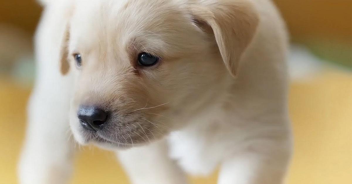 I cani possono mangiare il budino?