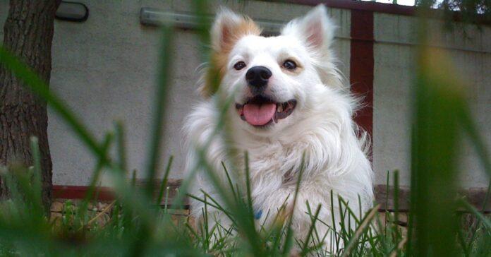 cane bianco nell'erba