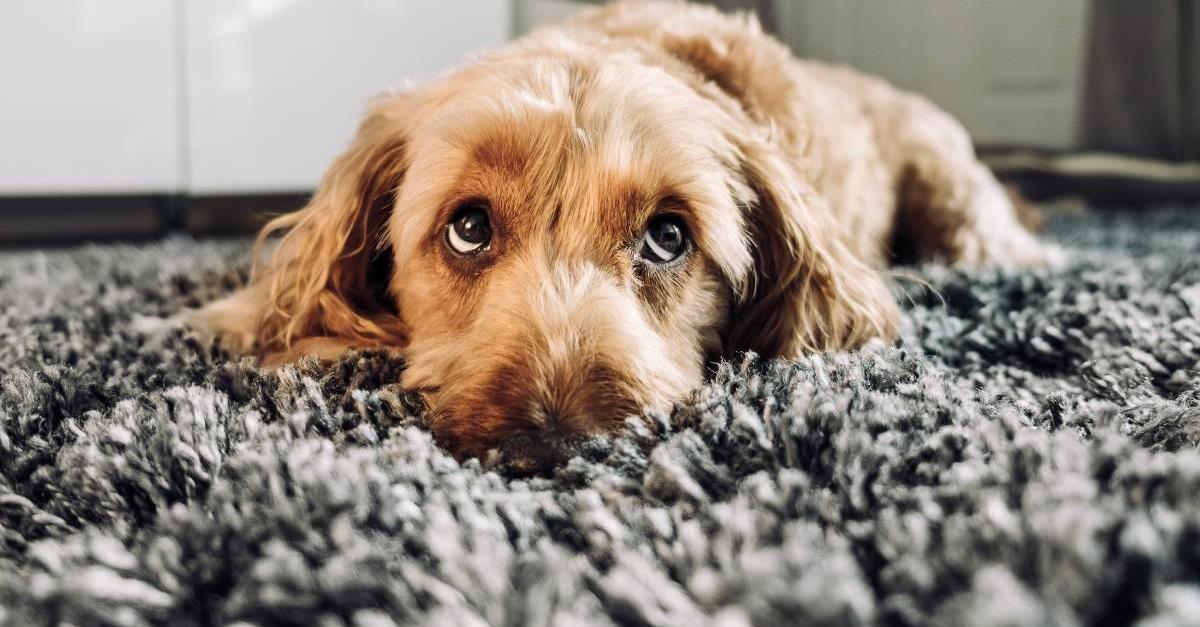 I cani possono mangiare i babà?