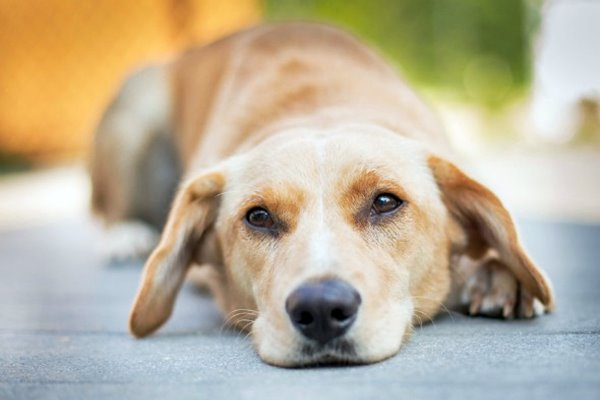 cane depresso