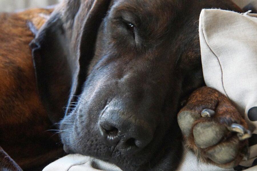 cane nero che dorme