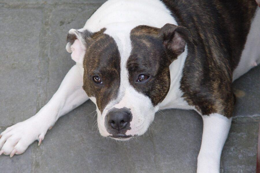 cane marrone e bianco