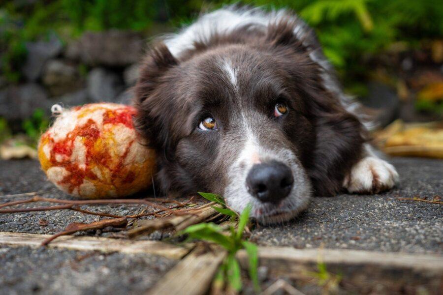 cane con la sua palla