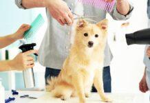 razze di cani piccoli a pelo corto