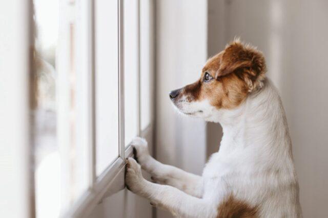 cane guarda attraverso i vetri