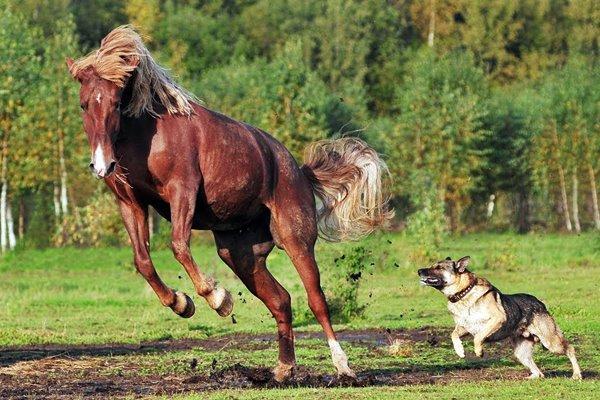 cane che insegue un cavallo