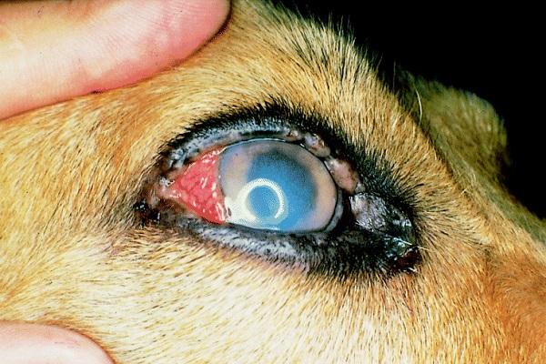 occhio del cane velato