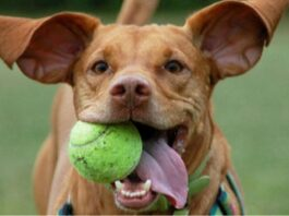 cane che corre con una pallina in bocca
