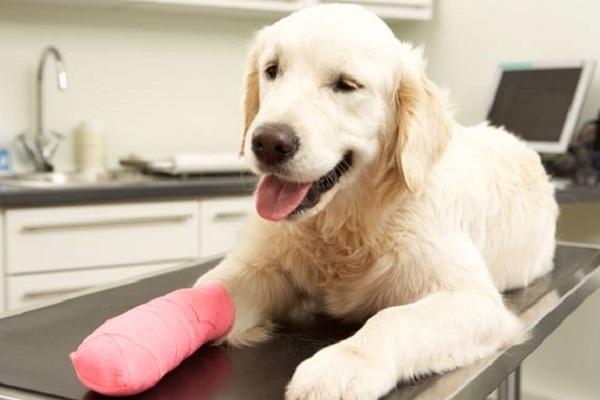 Lesioni del tendine d'Achille del cane: cosa bisogna fare