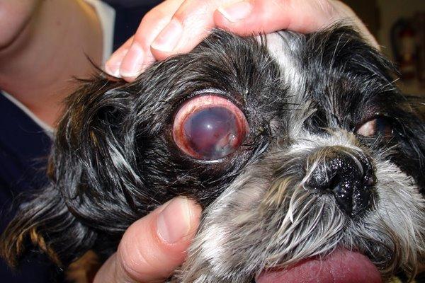 occhio gonfio del cane