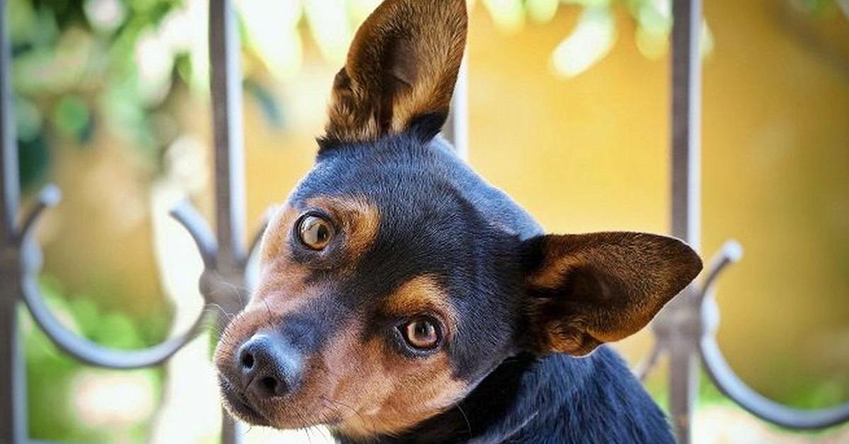 cane con le orecchie grandi