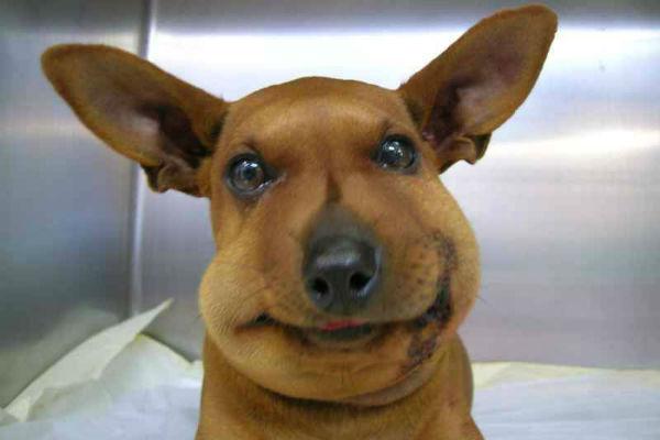 cane con il muso gonfio