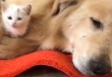 nel-cane-prevale-listinto-paterno-e-salva-la-vita-di-un-piccolo-gattino