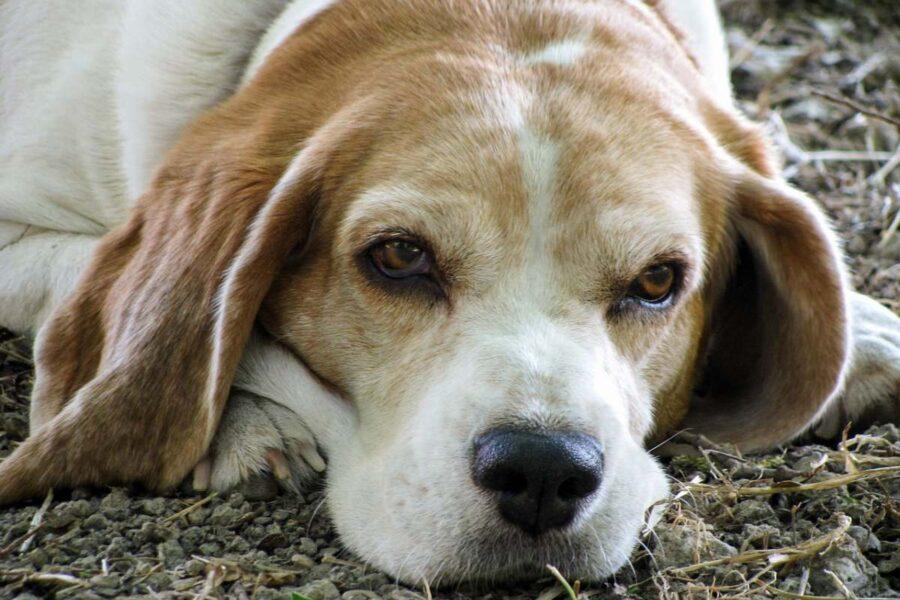 beagle anziano