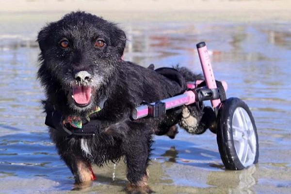 cane con carrellino per camminare